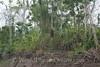 Amazon River - Ant Nests