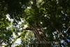 Amazon River - Forest Walk - White Kapoc - King of the Forest 2