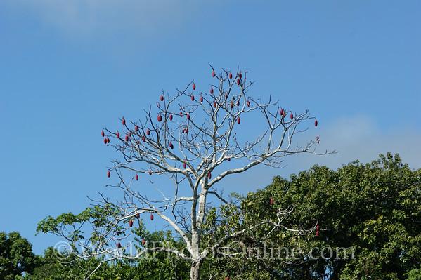 Amazon River - Kapoc Tree