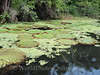 Amazon River - Giant Water Lilly 1
