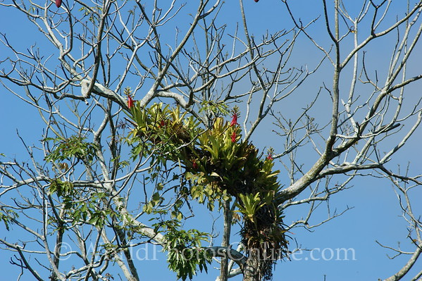 Amazon River - Air Plant