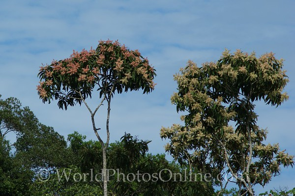 Amazon River - Red & White Ant Trees
