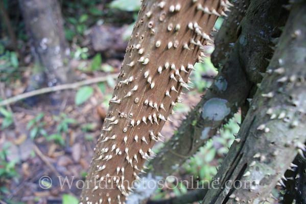 Amazon River - Forest Walk - Walking Palm - Leg Detail