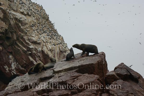 Ballestas Islands - Sea Lions - Mother & Cub