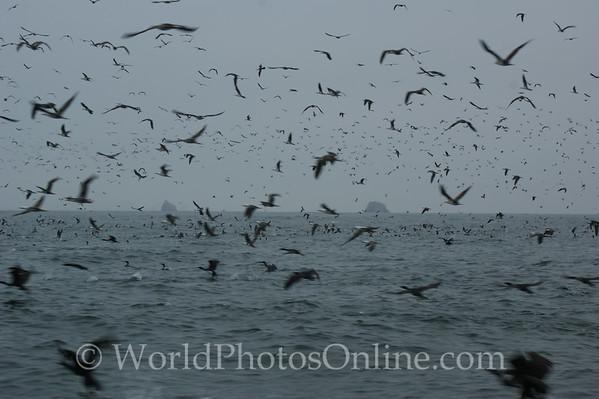 Ballestas Islands - Cormorants morning wash