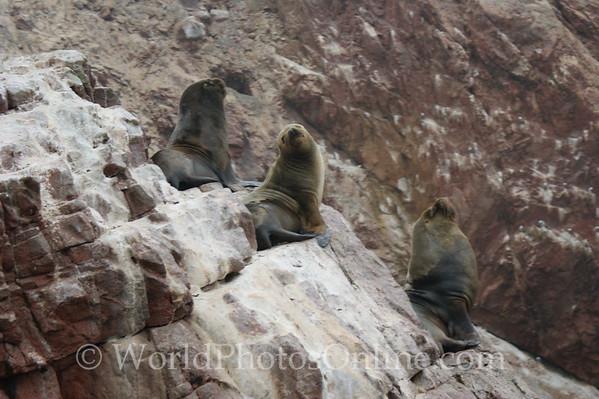 Ballestas Islands - Sea Lions - 3 Amigos