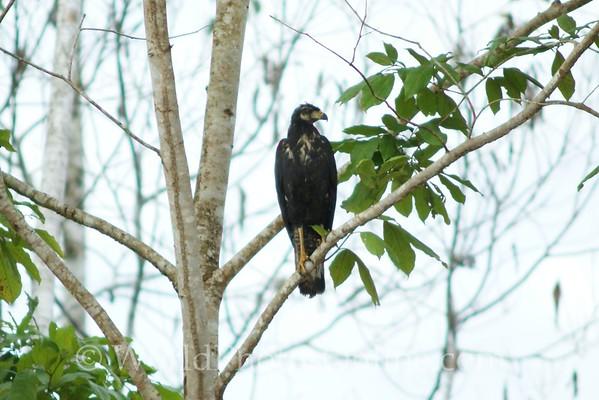 Great Black Hawk - Juvenile