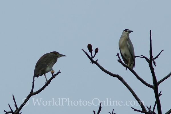 Black-crowned Night Heron - Female & Male