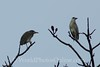 Black-crowned Night Heron - Female & Male