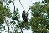 Slate-colored Hawk