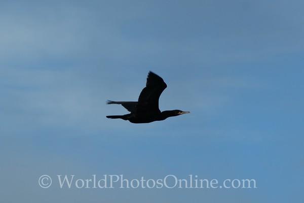 Neotropic Cormorant in flight
