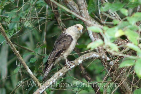 Yellow-headed Caracara - Adult