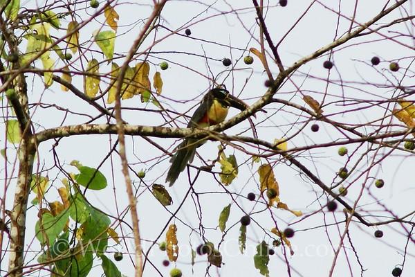 Chestnut-eared Aracai