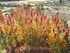 Sacred Valley - Pisaq - Quinoa
