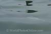 Bay of Paracas - Dolphin 1
