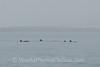 Bay of Paracas - Dolphin 3