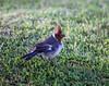 Hawaii Cardinal