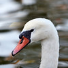 Mute Swan (Cygnus olor), Central Park, New York, NY