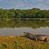 Yacare caiman in Pantanal
