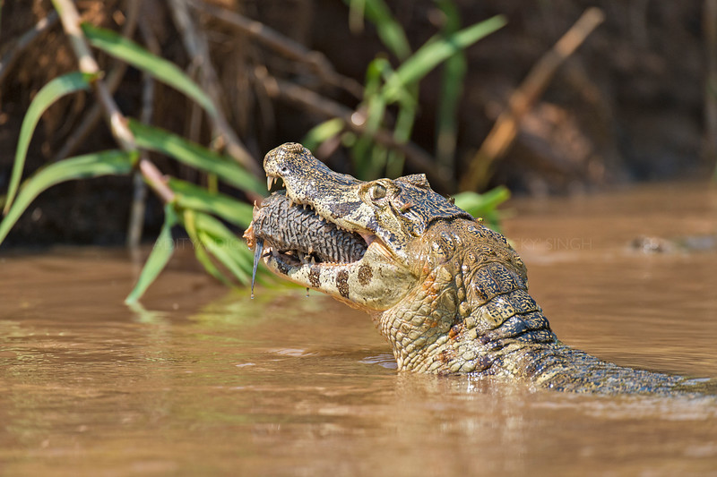 Yacare caiman with a Catfish catch