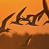 Black skimmers flying at sunset