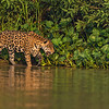 Jaguar on a river bank