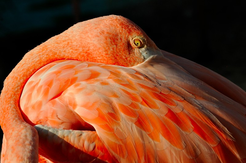 Flamingo in the San Diego zoo in California, USA