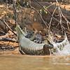 Jaguar attacking a Yacare caiman
