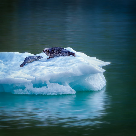 Seals - Tracy Arm Fjord Alaska<br /> © Sharon Thomas