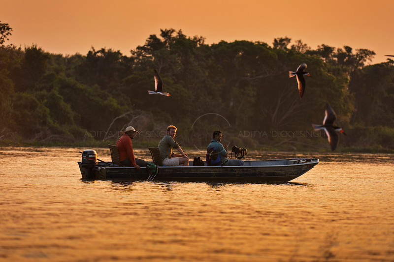 Black skimmers flying over a boat at sunset