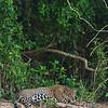 Resting Jaguar