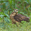 Juvenile savanna hawk