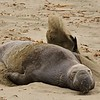 Northern Elephant seal (Mirounga leonina) on a beach in Sothern California