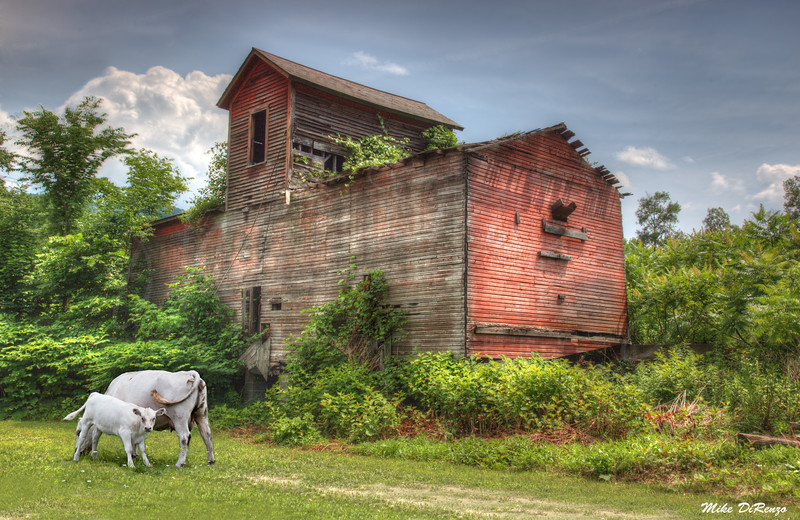 Old Barn and Cows  1719