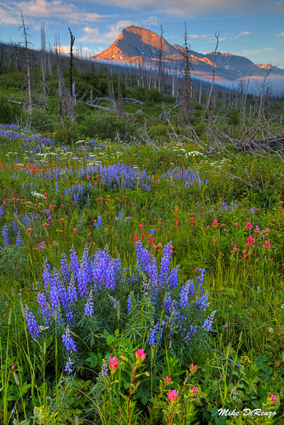 Lupines and Mountains 6494 w51