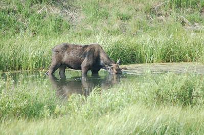 Grand Teton NP 2006 Moose