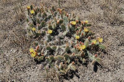 Yellowstone NP 2006 wildflower