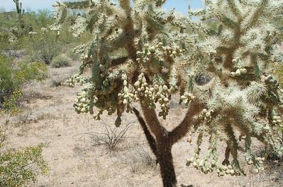 Organ Pipe Cactus NM 2010