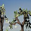Galápagos - Cactus opuntia
