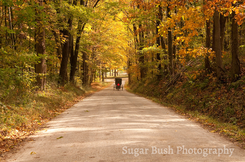 Golden Leaves and Amish Buggy