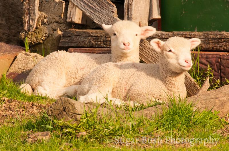 Two Dorset Lambs