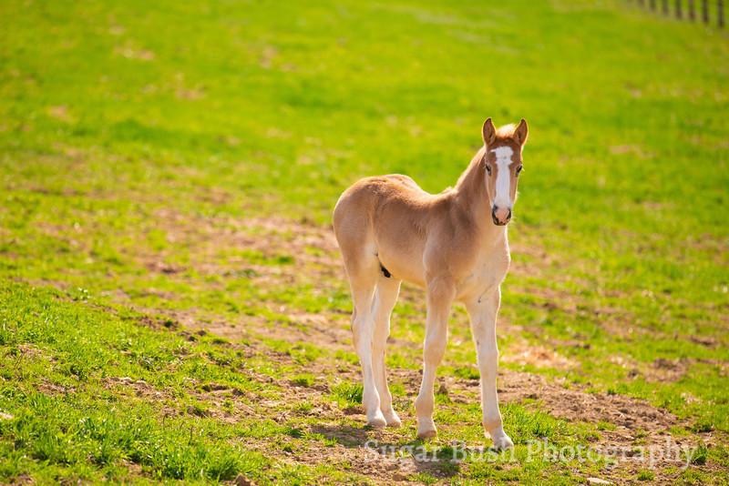 Belgian Draft Horse Colt