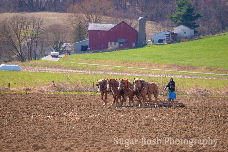 Amish Woman Driving a Team of Belgian Draft Horses