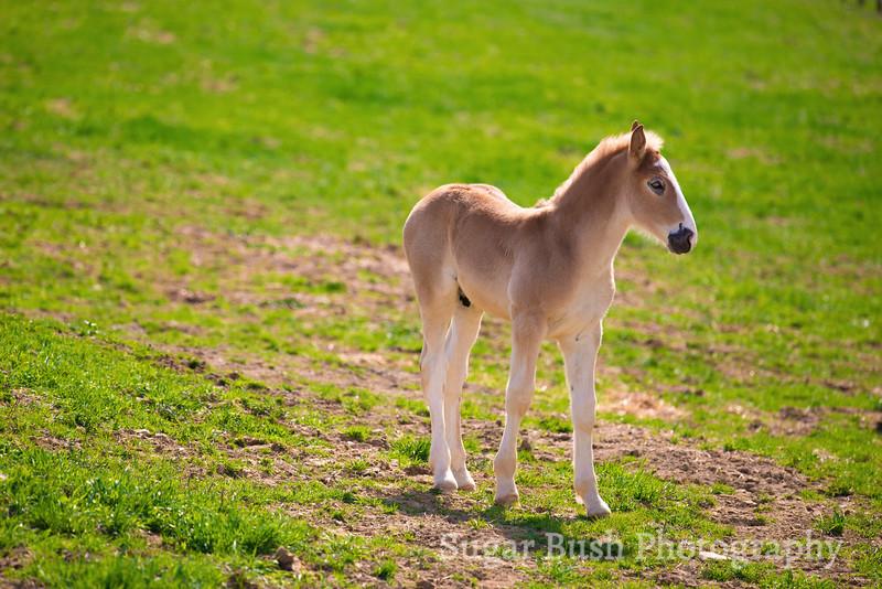 Belgian Draft Horse Foal