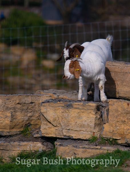 Boar Goats