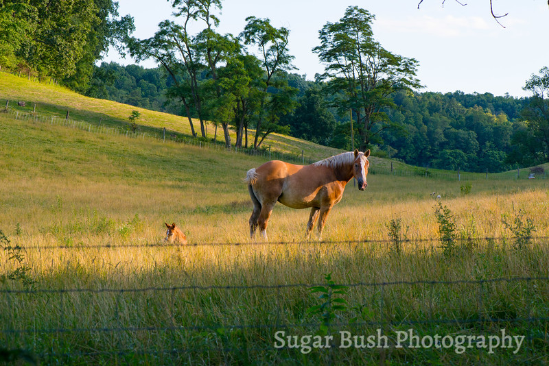 Belgian Mare and Colt