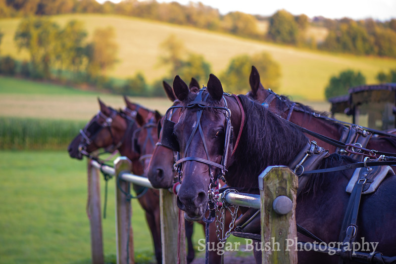 Amish Buggy Horses
