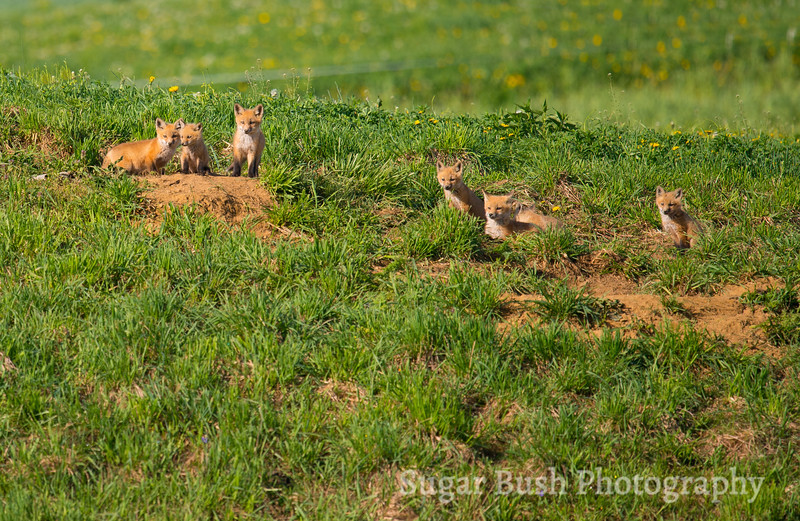 Six Red Fox Puppies