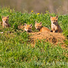 Four Red Fox Pups