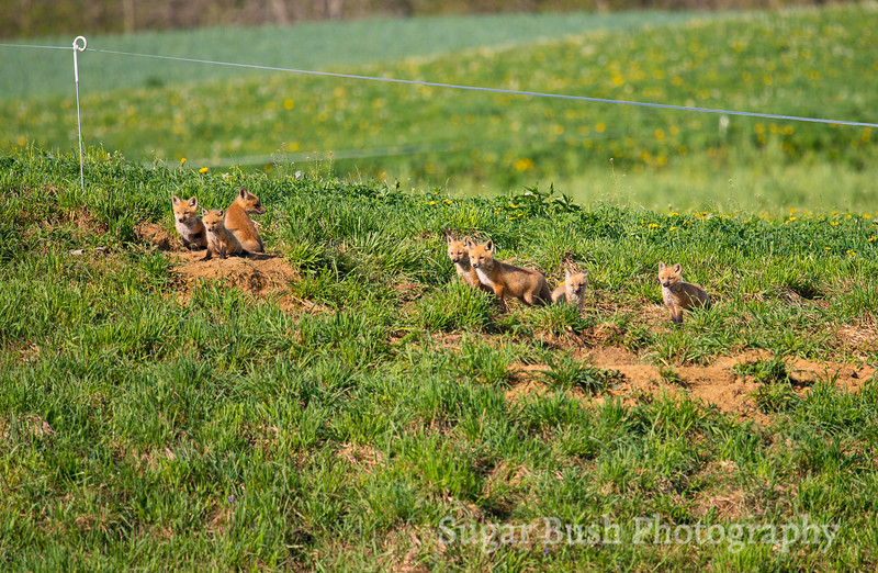 Six Red Foxes